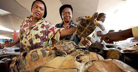Braconnage : La nouvelle menace de la paix et de la stabilité - Infos.cm | Cameroun Tourisme, cultures et nature | Scoop.it