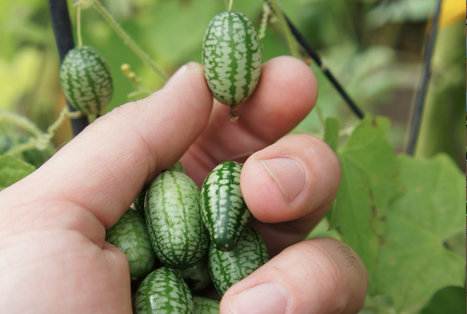 How to grow cucamelons | Garden Ideas by Team Pendley | Scoop.it