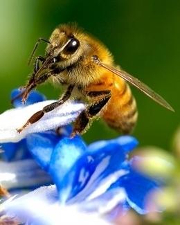 Las abejas, productoras de miel y de biodiversidad   SERENDIP   Scoop.it
