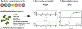 A Synthetic Community Approach Reveals Plant Genotypes Affecting the Phyllosphere Microbiota | Plants&Bacteria | Scoop.it