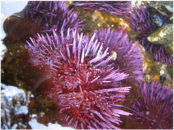 Rapid adaptation is purple sea urchins' weapon against ocean acidification | Agua | Scoop.it