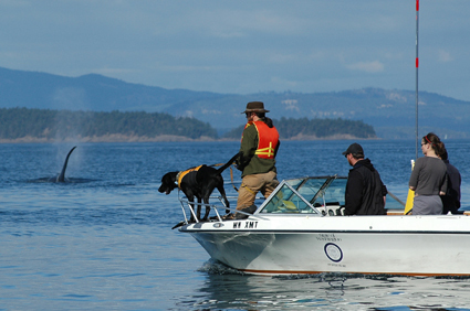From Pound Puppy to Whale Watcher: How a Black Lab Helps Scientists Track Orcas   Pet News   Scoop.it