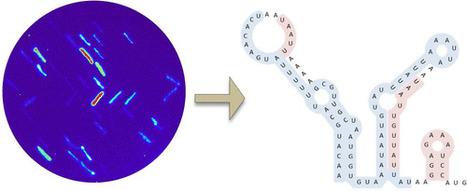 Synthetic Oligonucleotide Libraries Reveal Novel Regulatory Elements in Chlamydomonas Chloroplast mRNAs | SynBioFromLeukipposInstitute | Scoop.it