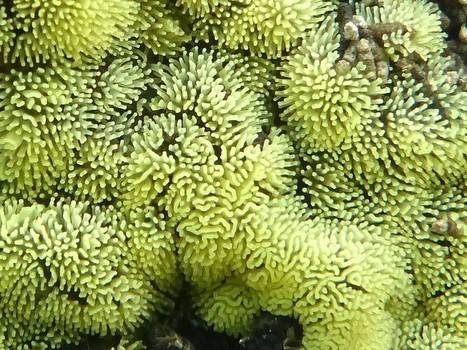 Photo de Myxomycète : Cératiomyxie fruticuleuse - Buisson cireux - Ceratiomyxa fruticulosa - Coral slime | Faaxaal Forum Photos gratuite Faune et Flore | Scoop.it