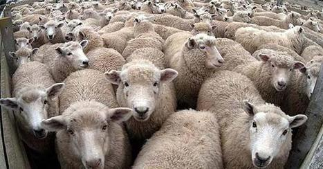 Pakistan resumes Australian sheep culling - DAWN.com | ''SNIPPITS'' | Scoop.it