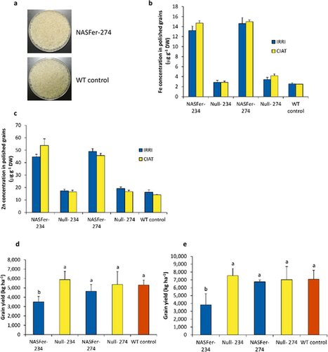 Biofortified indica rice attains iron and zinc nutrition dietary targets in the field - Trijatmiko &al (2016) - Sci Reports | Global Nutrition | Scoop.it