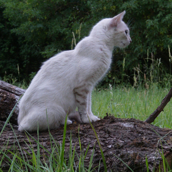 Serrade Petit Cat | Cat Breeds Information | Scoop.it