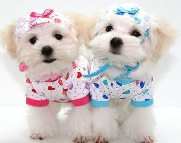 Dog Clothing Disputes Over Fashion and Function | Hot Dog Collars ... | Dog Fashion | Scoop.it