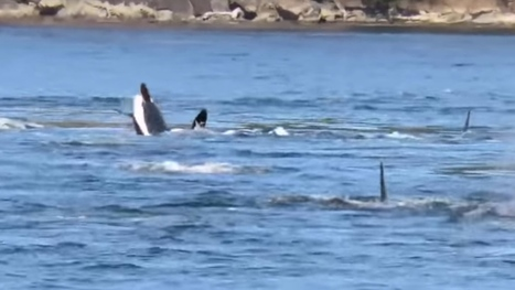 Orca 'social party' dazzles onlookers near Galiano Island | Orca Whales in the Wild | Scoop.it
