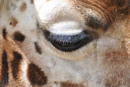 Marius, le girafon inutile | Nature Animals humankind | Scoop.it