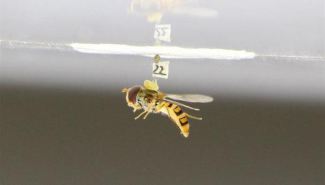 Comment la mouche pilote en chute libre | EntomoNews | Scoop.it