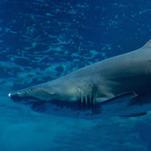 Les requins sont plus menacés que menaçants - Figaro Nautisme | EPE tourisme durable | Scoop.it