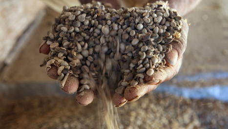 Green coffee beans may lead to weight loss, study shows - HealthPop - CBS News | Kickin' Kickers | Scoop.it