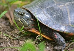 Where Can Lay Eggs Red-Eared Turtle | onlinepetanswers | Scoop.it