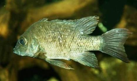 Se busca pez hembra para especie en extinción | Arqueología, Prehistoria y Antigua | Scoop.it