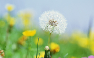 5 Reasons Dandelions Don't Deserve to Be Called a Weed   Food issues   Scoop.it