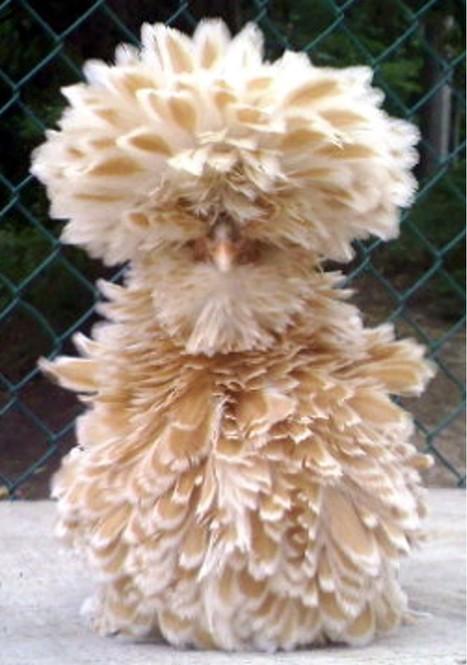 ALLPE : ¿Seguro qué sabes cómo es una gallina? | BROTES DE NATURALEZA | Scoop.it