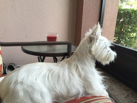 Tweet from @savanny_star | West Highland White Terrier | Scoop.it