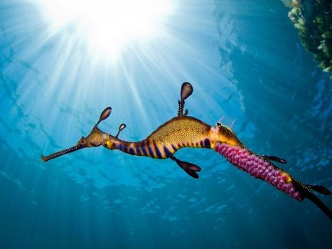 Weedy Sea Dragon Picture #beauty | Limitless learning Universe | Scoop.it