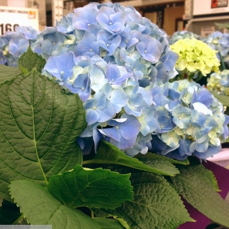 Beloved blue hydrangeas in southern California - The Real Gardener | Natural Soil Nutrients | Scoop.it