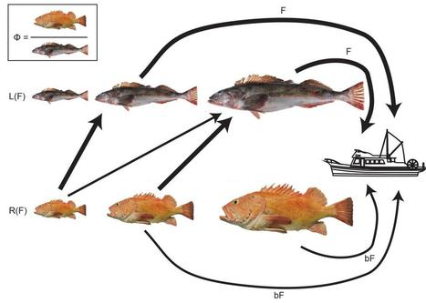 Lingcod meet rockfish: Catching one improves chances for the other - Scienmag   Aquaculture Directory   Scoop.it