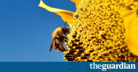 Plan #bee: #US #Minnesota sets broad limits on chemicals blamed for bee decline #neonicotinoids | Messenger for mother Earth | Scoop.it