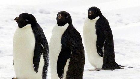 Antarctique: 150 000 pingouins périssent à cause de la dérive d'un iceberg géant   Biodiversité   Scoop.it