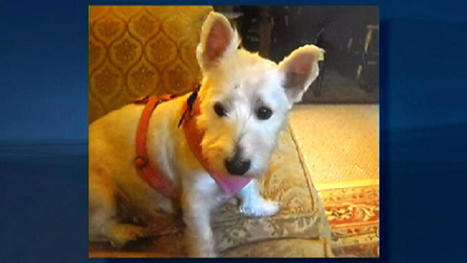 Westie Takes the Stand in Animal Cruelty Case | Upsetment | Scoop.it