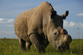 The Last 3 Of The World's Rarest Rhinos Are Unable To Breed | Investors Europe Mauritius | Scoop.it