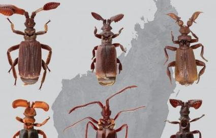 How beetles hack into ant colonies | Phys.org | CALS in the News | Scoop.it