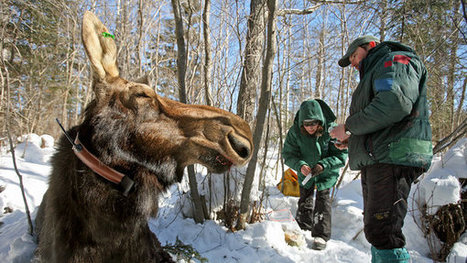 Moose Die-Off Alarms Scientists | Sustain Our Earth | Scoop.it
