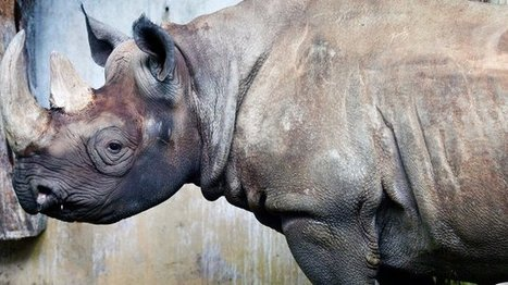 Irishman in US court over rhino horn trafficking | What's Happening to Africa's Rhino? | Scoop.it