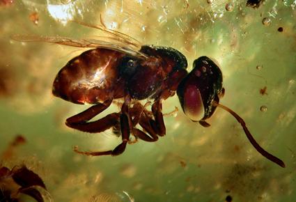 L'absence d'ADN chez les insectes fossilisés est confirmée [en anglais] | EntomoNews | Scoop.it