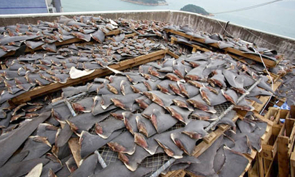 Conservation Group Exposes World's Biggest Shark Slaughterhouse | EcoWatch | EcoWatch | Scoop.it