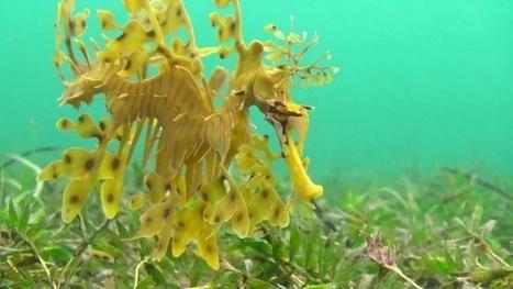 Vidéo HD | Australie - Plongée avec le dragon de mer ! | Plongeurs.TV | Scoop.it
