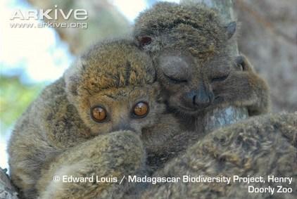 ARKive blog - Endangered Species of the Week: Bemaraha woolly lemur | The Wild Planet | Scoop.it
