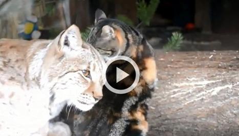 Le chat et le Lynx qui s'aiment d'amour tendre (Vidéo du jour) | CaniCatNews-actualité | Scoop.it