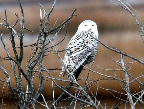 Homesick Owls Confusing Airports With Arctic Tundra | AP Human Geography | Scoop.it