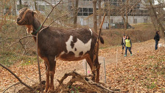 Goats go green by eating invasive plants and vines in Towson area   Suburban Land Trusts   Scoop.it