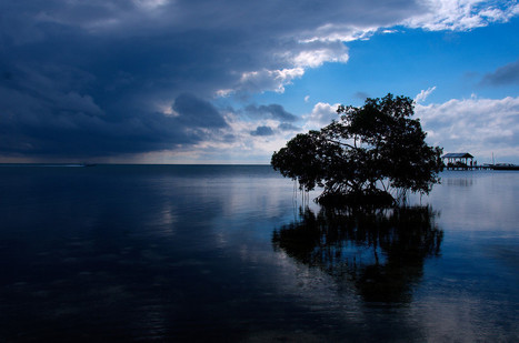 Mangrove Tree at Sunset in Caye Caulker, Belize | AVEX News | Scoop.it