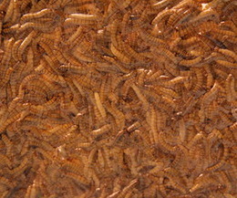 Insects for Food-Prep. 101 | Entomophagy: Edible Insects and the Future of Food | Scoop.it