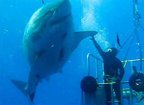 One of the Largest Great White Sharks Ever Caught on Camera | xposing world of Photography & Design | Scoop.it