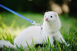 Ferrets - A Complete Pet Care Guide | Love That Pet | Going Green | Scoop.it