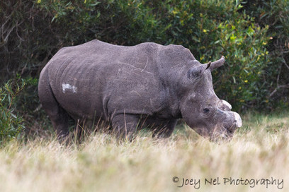 R 100 000 reward for info about rhino poaching at Lombardini | What's Happening to Africa's Rhino? | Scoop.it