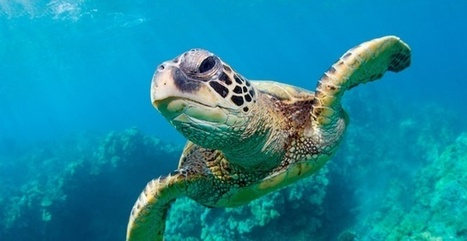 Help Save Sea Turtles from Extinction | Animals - fact and fiction | Scoop.it