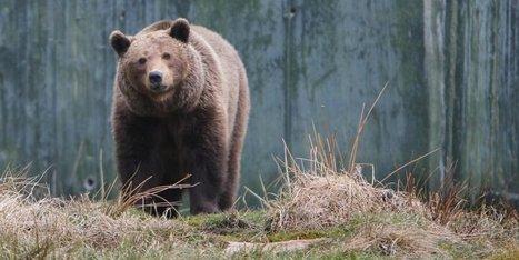 Découvrez la saga de l'ours dans les Pyrénées - Sud Ouest   Responsabilité humaine et environnement   Scoop.it