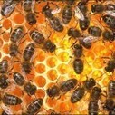 Honeybees harbor antibiotic-resistance genes | ScienceBlog.com | Research from the NC Agricultural Research Service | Scoop.it