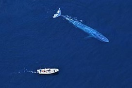 #app comes out of the blue to #SaveWhales   Rescue our Ocean's & it's species from Man's Pollution!   Scoop.it