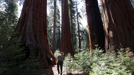 A Partnership to Help the Tallest Residents in Yosemite Park | Sustainable Futures | Scoop.it