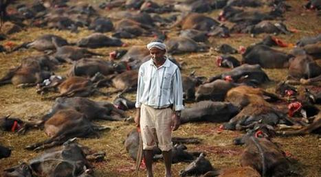 Connaissez-vous la déesse Gadhimai ? Comme tous les 5 ans, un petit village du Népal vient de procéder en son honneur au plus grand sacrifice d'animaux au monde | Nature & Civilization | Scoop.it